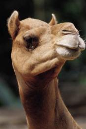 camelge