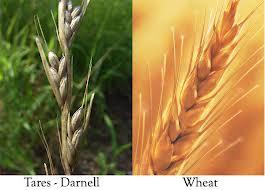 wheattares