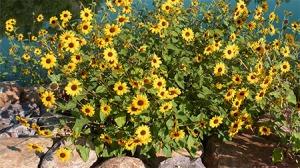 sun-flowers-water
