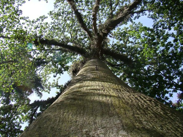 300-year-old Ceiba tree