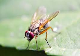 fruit fly mutations