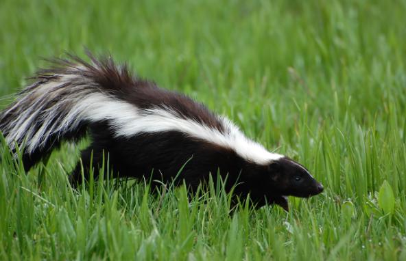 skunk animal